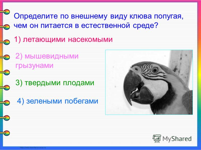 Определите по внешнему виду клюва попугая, чем он питается в естественной среде? 1) летающими насекомыми 2) мышевидными грызунами 3) твердыми плодами 4) зелеными побегами