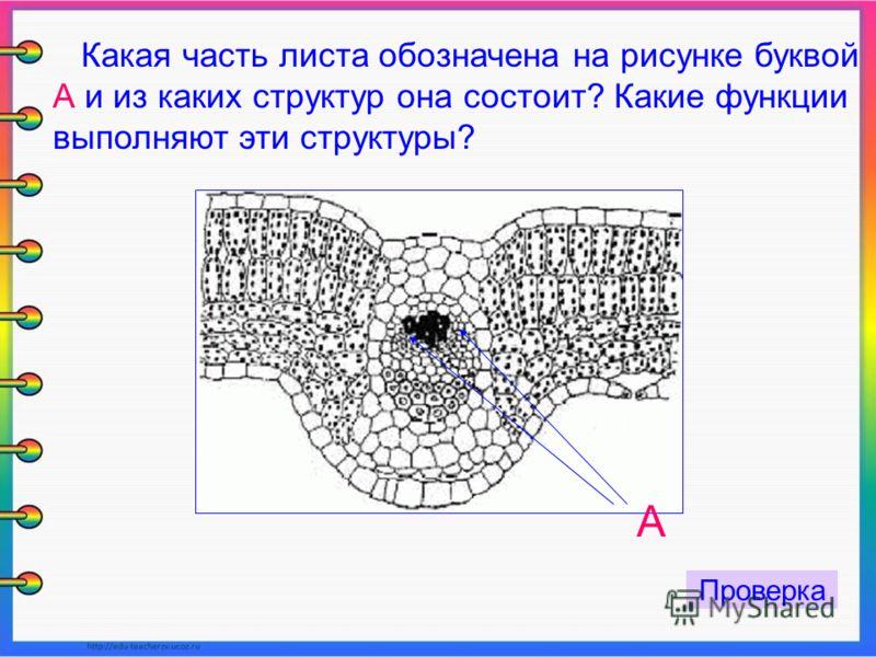 Какая часть листа обозначена на рисунке буквой А и из каких структур она состоит? Какие функции выполняют эти структуры? А Проверка