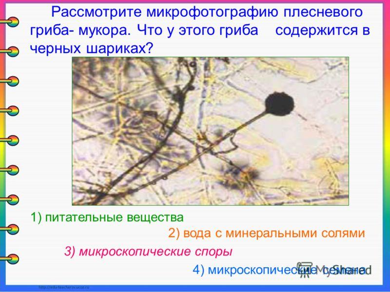 Рассмотрите микрофотографию плесневого гриба- мукора. Что у этого гриба содержится в черных шариках? 2) вода с минеральными солями 1) питательные вещества 3) микроскопические споры 4) микроскопические семена