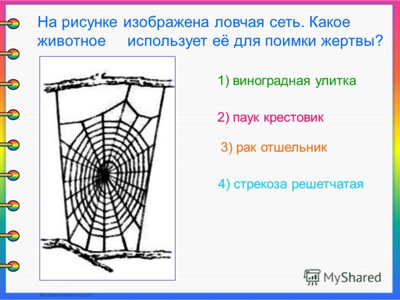 1) виноградная улитка 2) паук