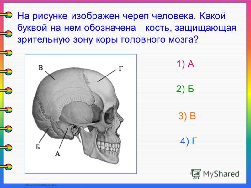 На рисунке изображен череп человека. Какой буквой на нем обозначена кость, защищающая зрительную зону коры головного мозга? 1) А 2) Б 3) В 4) Г