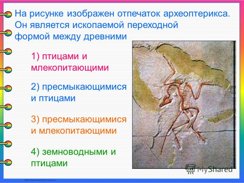 На рисунке изображен отпечаток археоптерикса. Он является ископаемой переходной формой между древними 1) птицами и млекопитающими 2) пресмыкающимися и птицами 3) пресмыкающимися и млекопитающими 4) земноводными и птицами
