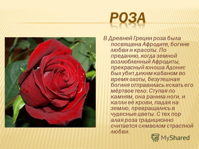 В Древней Греции роза была посвящена Афродите, богине любви и красоты. По преданию, когда земной возлюбленный Афродиты, прекрасный юноша Адонис был убит диким кабаном во время охоты, безутешная богиня отправилась искать его мёртвое тело. Ступая по ка