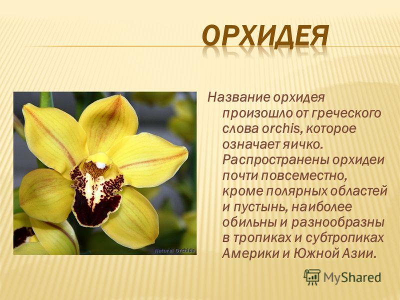 Название орхидея произошло от греческого слова orchis, которое означает яичко. Распространены орхидеи почти повсеместно, кроме полярных областей и пустынь, наиболее обильны и разнообразны в тропиках и субтропиках Америки и Южной Азии.