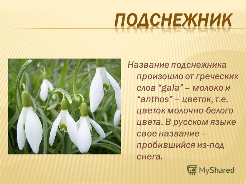 Название подснежника произошло от греческих слов gala – молоко и anthos – цветок, т.е. цветок молочно-белого цвета. В русском языке свое название – пробившийся из-под снега.
