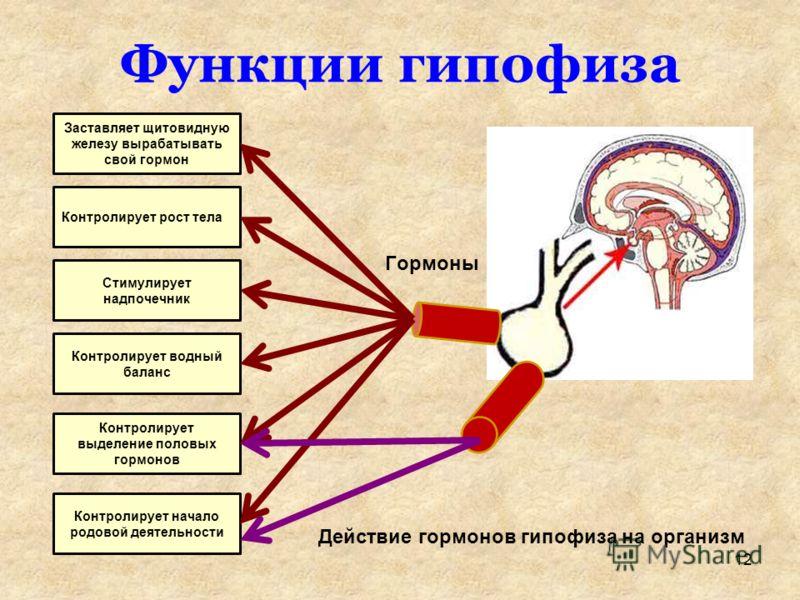 Функции гипофиза Заставляет щитовидную железу вырабатывать свой гормон Контролирует рост тела Стимулирует надпочечник Контролирует водный баланс Контролирует выделение половых гормонов Контролирует начало родовой деятельности Гормоны Действие гормоно
