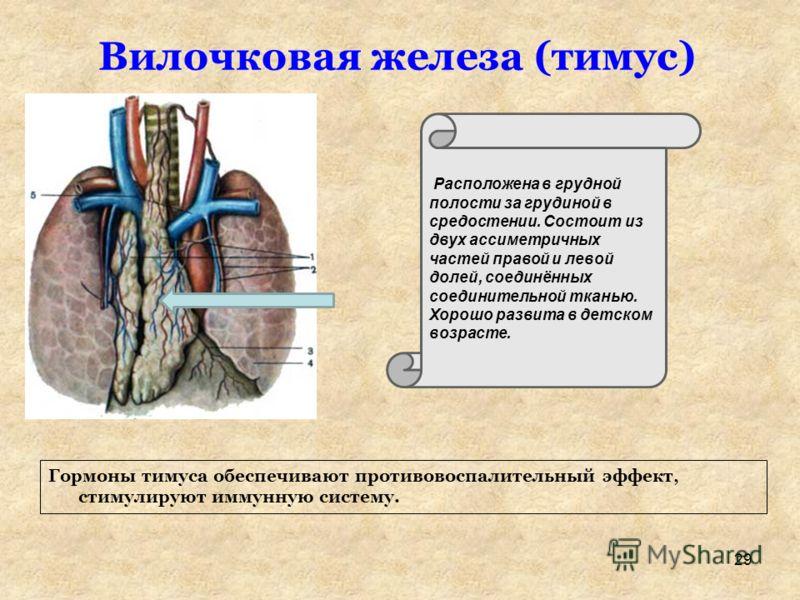 Вилочковая железа (тимус) Расположена в грудной полости за грудиной в средостении. Состоит из двух ассиметричных частей правой и левой долей, соединённых соединительной тканью. Хорошо развита в детском возрасте. Гормоны тимуса обеспечивают противовос