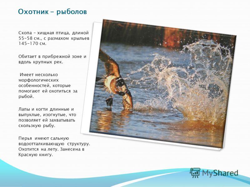 Охотник - рыболов Скопа – хищная птица, длиной 55-58 см., с размахом крыльев 145-170 см. Обитает в прибрежной зоне и вдоль крупных рек. Имеет несколько морфологических особенностей, которые помогают ей охотиться за рыбой. Лапы и когти длинные и выпук