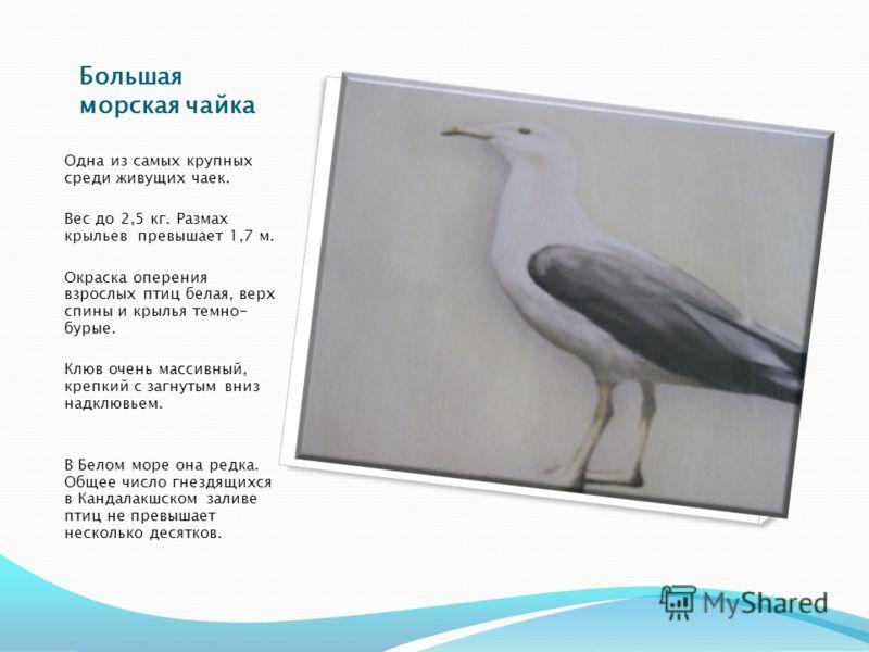 Большая морская чайка Одна из самых крупных среди живущих чаек. Вес до 2,5 кг. Размах крыльев превышает 1,7 м. Окраска оперения взрослых птиц белая, верх спины и крылья темно- бурые. Клюв очень массивный, крепкий с загнутым вниз надклювьем. В Белом м
