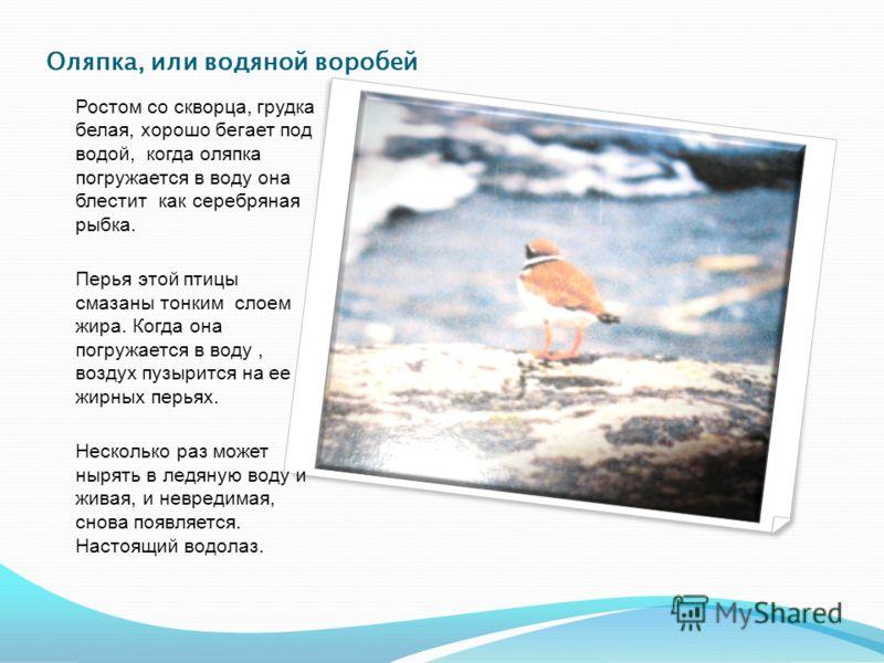 Оляпка, или водяной воробей Ростом со скворца, грудка белая, хорошо бегает под водой, когда оляпка погружается в воду она блестит как серебряная рыбка. Перья этой птицы смазаны тонким слоем жира. Когда она погружается в воду, воздух пузырится на ее ж