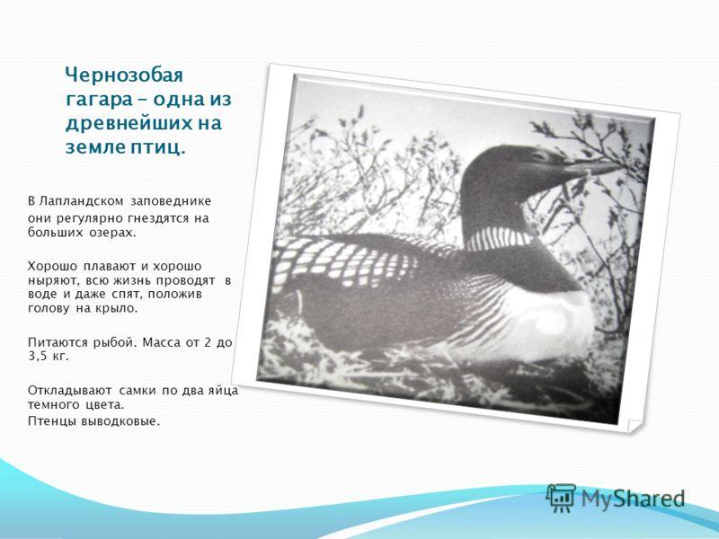 Чернозобая гагара – одна из древнейших на земле птиц. В Лапландском заповеднике они регулярно гнездятся на больших озерах. Хорошо плавают и хорошо ныряют, всю жизнь проводят в воде и даже спят, положив голову на крыло. Питаются рыбой. Масса от 2 до 3