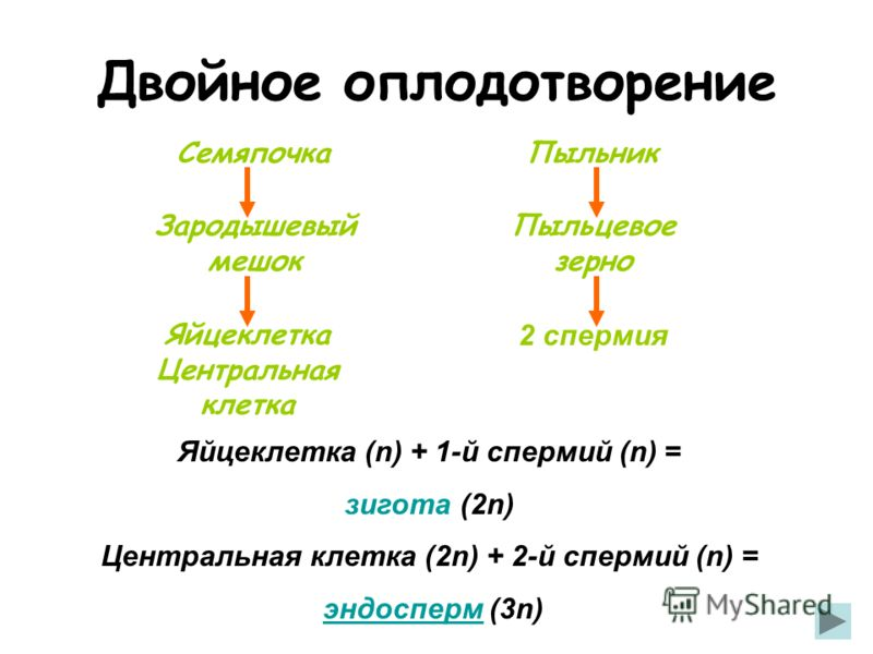 Яйцеклетка Центральная клетка СемяпочкаПыльник Пыльцевое зерно 2 спермия Зародышевый мешок Яйцеклетка (n) + 1-й спермий (n) = зигота (2n) Центральная клетка (2n) + 2-й спермий (n) = эндосперм (3n)эндосперм