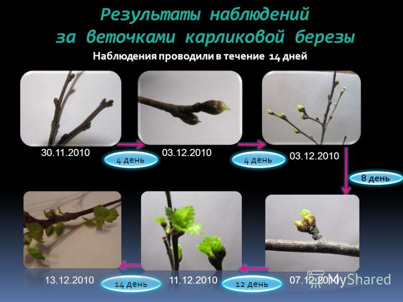 Результаты наблюдений за веточками карликовой березы Наблюдения проводили в течение 14 дней 14 день 4 день 8 день 30.11.201003.12.2010 07.12.201011.12.201013.12.2010 12 день