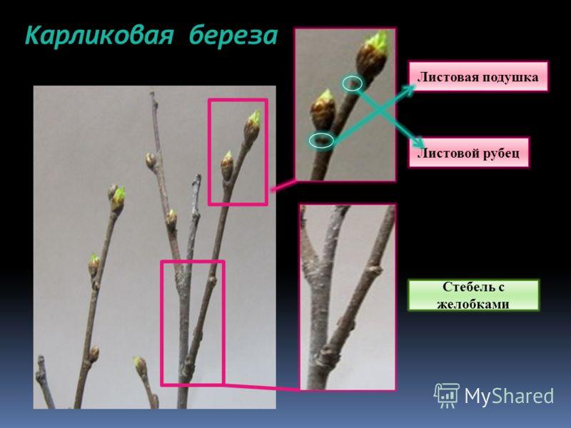 Карликовая береза Стебель с желобками Листовой рубец Листовая подушка