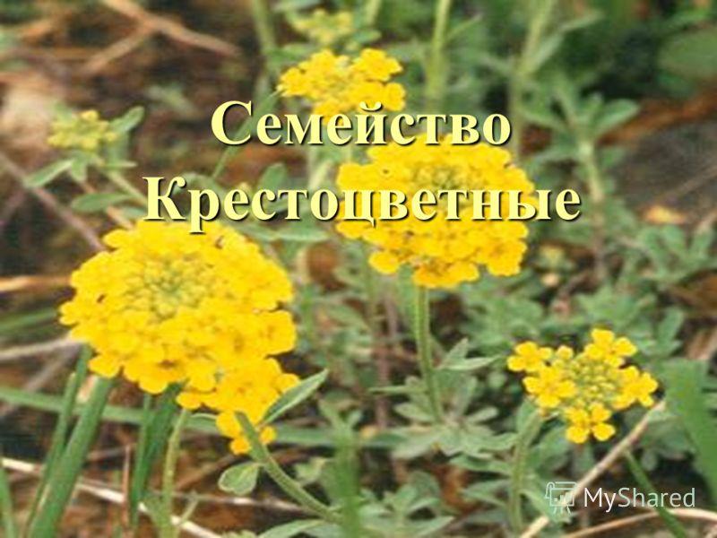 08.05.2013 Мерзликина Галина Валерьевна Семейство Крестоцветные