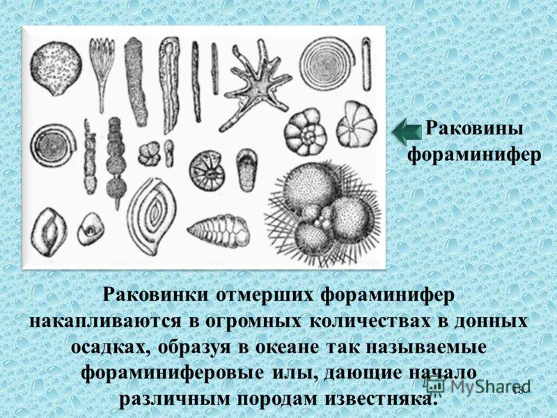 Раковинки отмерших фораминифер накапливаются в огромных количествах в донных осадках, образуя в океане так называемые фораминиферовые илы, дающие начало различным породам известняка. Раковины фораминифер 18