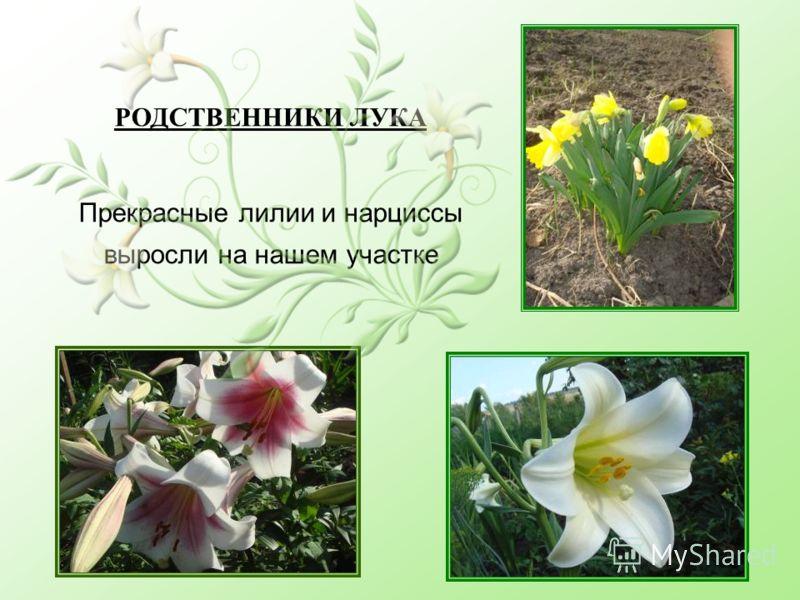 РОДСТВЕННИКИ ЛУКА Прекрасные лилии и нарциссы выросли на нашем участке