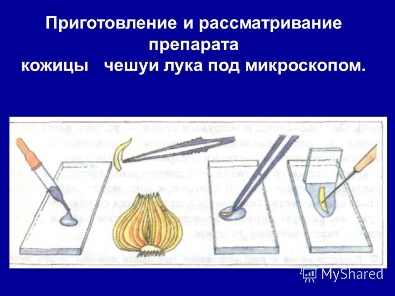 Приготовление и рассматривание препарата кожицы чешуи лука под микроскопом.