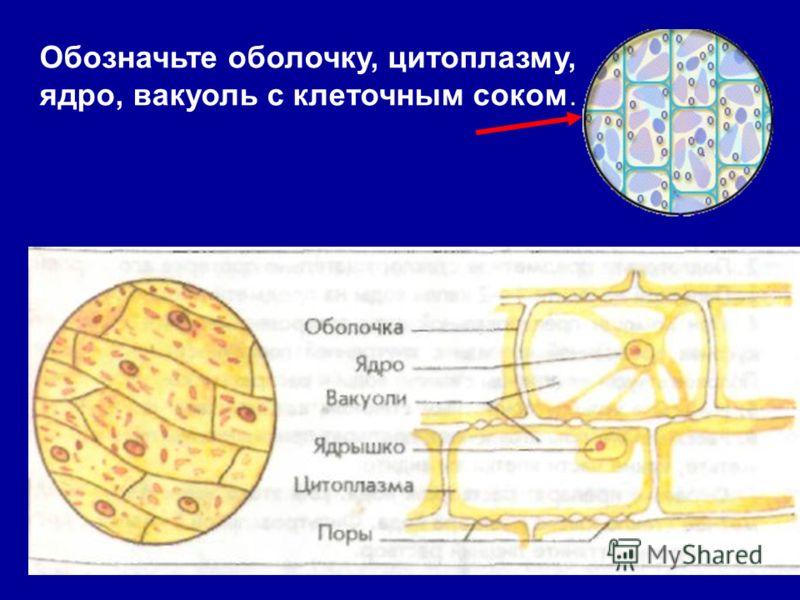 Обозначьте оболочку, цитоплазму, ядро, вакуоль с клеточным соком.