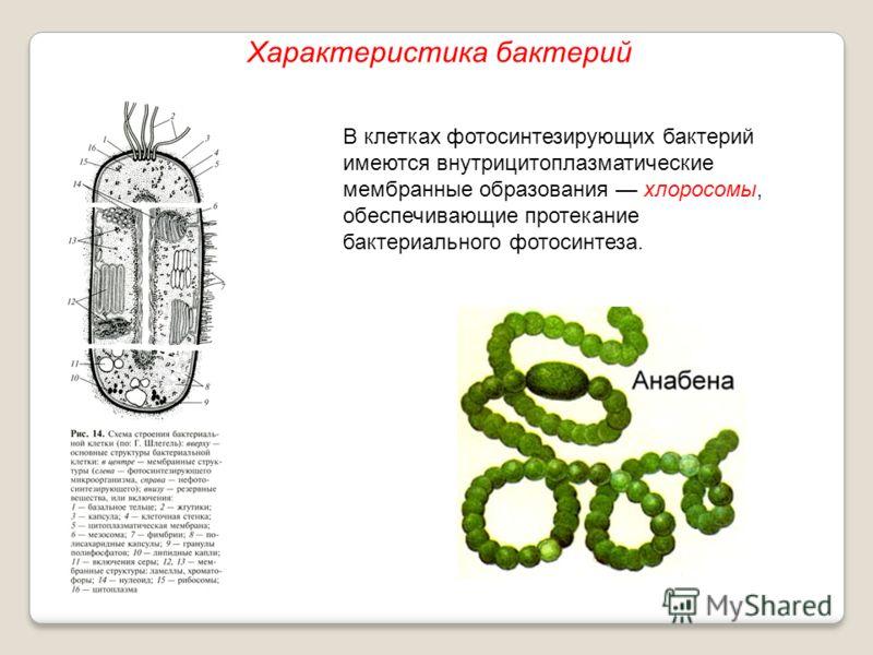 В клетках фотосинтезирующих бактерий имеются внутрицитоплазматические мембранные образования хлоросомы, обеспечивающие протекание бактериального фотосинтеза. Характеристика бактерий
