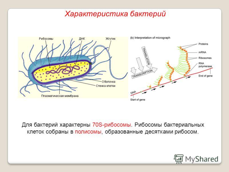 Для бактерий характерны 70S-рибосомы. Рибосомы бактериальных клеток собраны в полисомы, образованные десятками рибосом. Характеристика бактерий