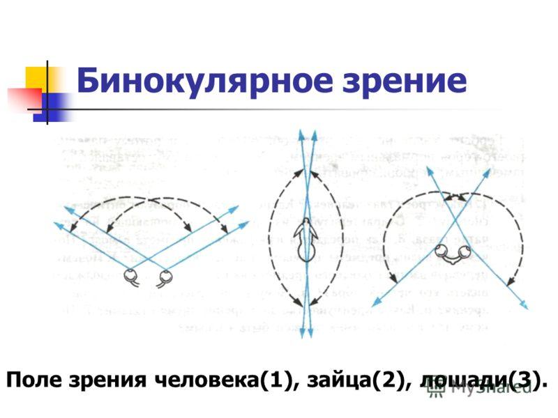 Бинокулярное зрение Поле зрения человека(1), зайца(2), лошади(3).