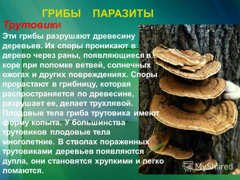 ГРИБЫ ПАРАЗИТЫ Трутовики Эти грибы разрушают древесину деревьев. Их споры проникают в дерево через раны, появляющиеся в коре при поломке ветвей, солнечных ожогах и других повреждениях. Споры прорастают в грибницу, которая распространяется по древесин