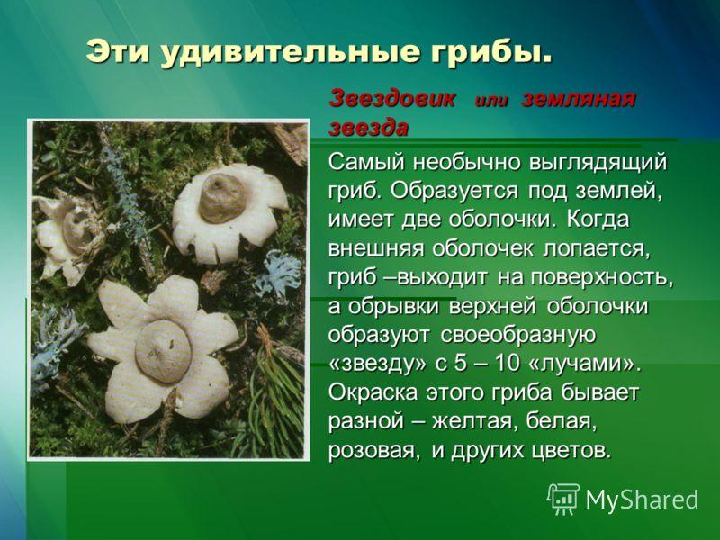 Эти удивительные грибы. Звездовик или земляная звезда Самый необычно выглядящий гриб. Образуется под землей, имеет две оболочки. Когда внешняя оболочек лопается, гриб –выходит на поверхность, а обрывки верхней оболочки образуют своеобразную «звезду»