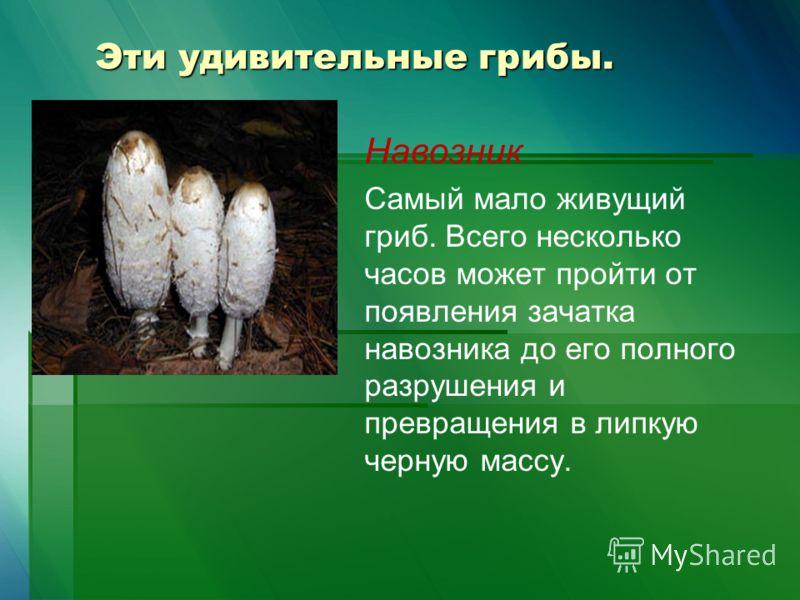 Эти удивительные грибы. Навозник Самый мало живущий гриб. Всего несколько часов может пройти от появления зачатка навозника до его полного разрушения и превращения в липкую черную массу.