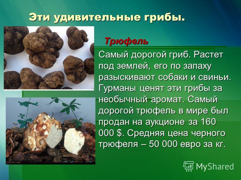 Эти удивительные грибы. Трюфель Трюфель Самый дорогой гриб. Растет под землей, его по запаху разыскивают собаки и свиньи. Гурманы ценят эти грибы за необычный аромат. Самый дорогой трюфель в мире был продан на аукционе за 160 000 $. Средняя цена черн