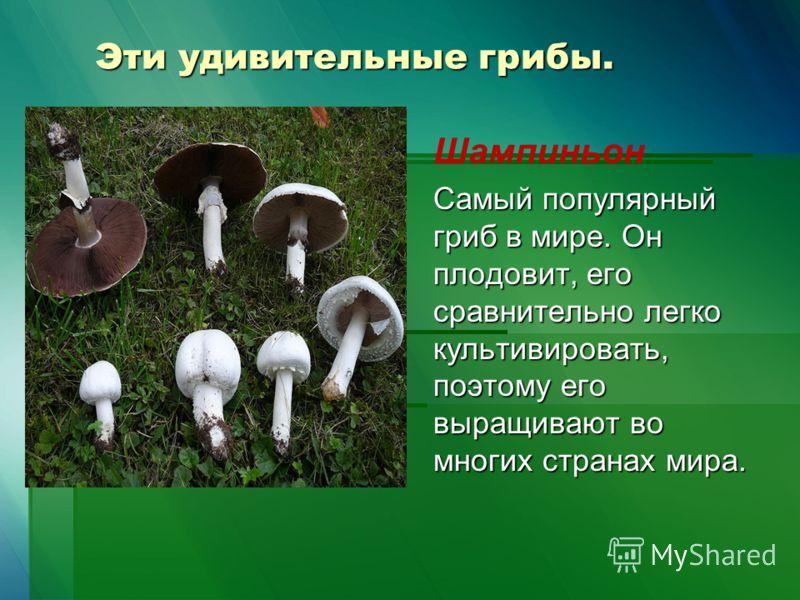 Эти удивительные грибы. Шампиньон Самый популярный гриб в мире. Он плодовит, его сравнительно легко культивировать, поэтому его выращивают во многих странах мира.
