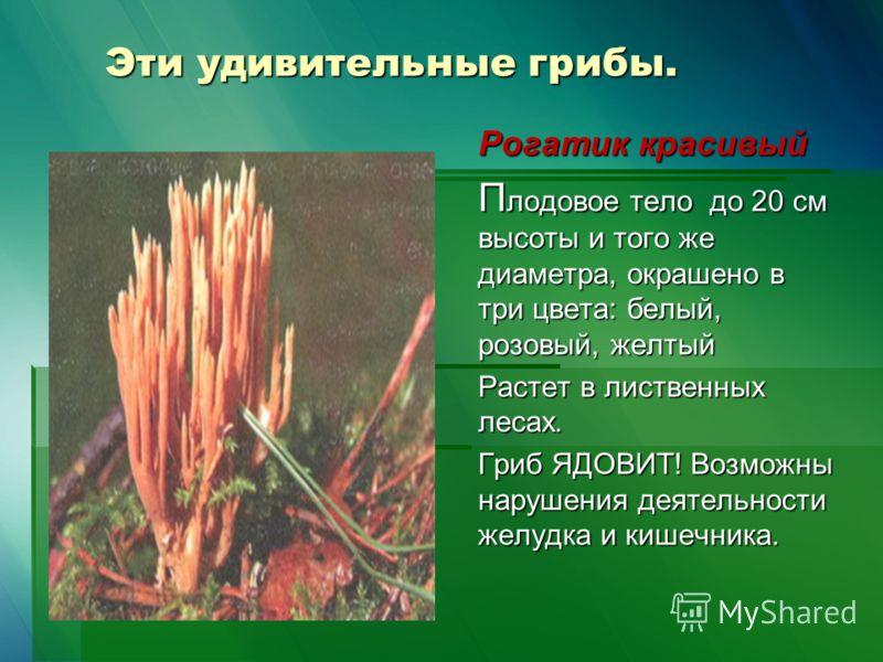 Эти удивительные грибы. Рогатик красивый П лодовое тело до 20 см высоты и того же диаметра, окрашено в три цвета: белый, розовый, желтый Растет в лиственных лесах. Гриб ЯДОВИТ! Возможны нарушения деятельности желудка и кишечника.