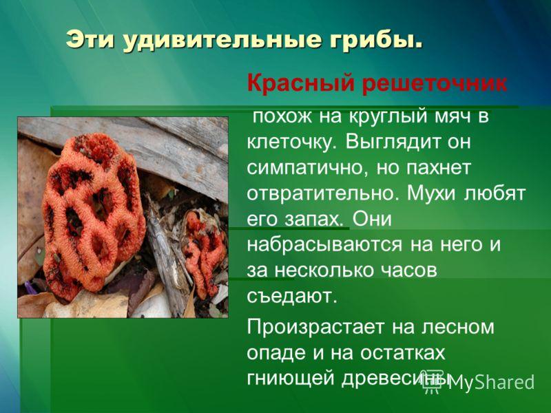 Эти удивительные грибы. Красный решеточник похож на круглый мяч в клеточку. Выглядит он симпатично, но пахнет отвратительно. Мухи любят его запах. Они набрасываются на него и за несколько часов съедают. Произрастает на лесном опаде и на остатках гнию