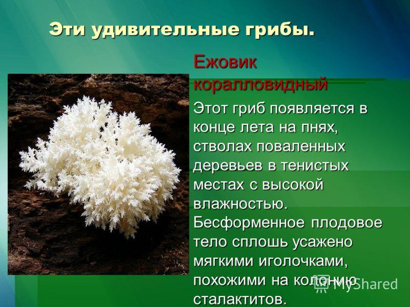 Эти удивительные грибы. Ежовик коралловидный Этот гриб появляется в конце лета на пнях, стволах поваленных деревьев в тенистых местах с высокой влажностью. Бесформенное плодовое тело сплошь усажено мягкими иголочками, похожими на колонию сталактитов.