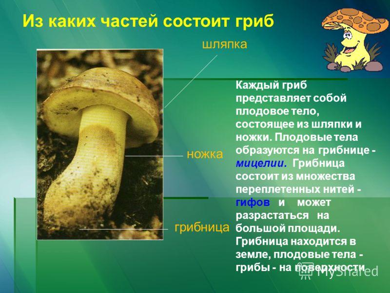 шляпка ножка грибница Из каких частей состоит гриб Каждый гриб представляет собой плодовое тело, состоящее из шляпки и ножки. Плодовые тела образуются на грибнице - мицелии. Грибница состоит из множества переплетенных нитей - гифов и может разрастать