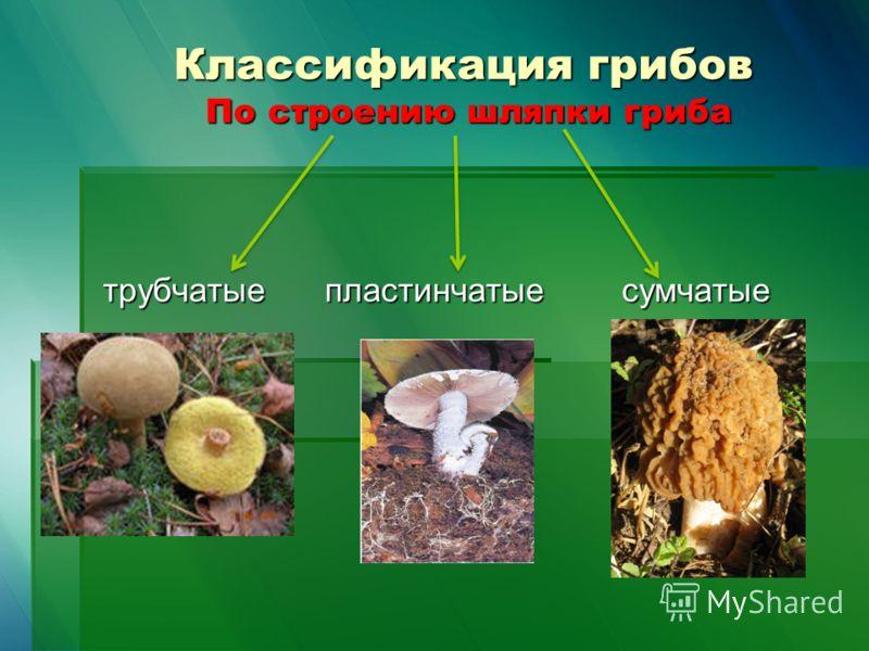 трубчатые грибы фото и названия