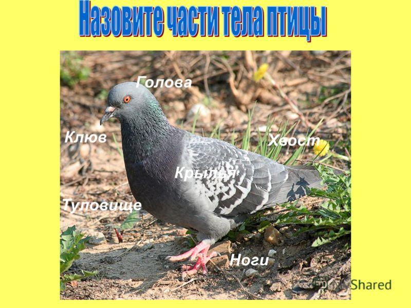 Голова Ноги Туловище Крылья Хвост Клюв