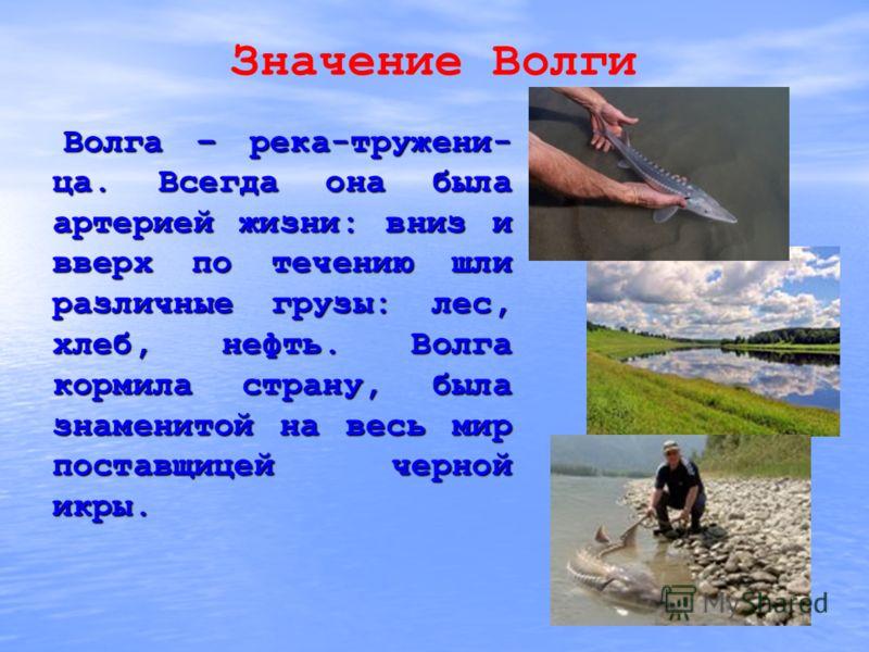 Значение Волги Волга – река-тружени- ца. Всегда она была артерией жизни: вниз и вверх по течению шли различные грузы: лес, хлеб, нефть. Волга кормила страну, была знаменитой на весь мир поставщицей черной икры. Волга – река-тружени- ца. Всегда она бы