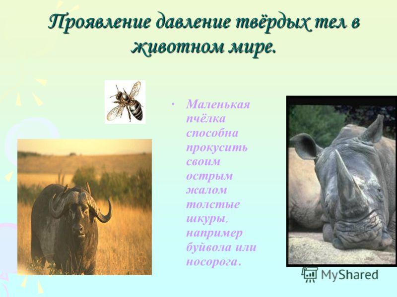 Проявление давление твёрдых тел в животном мире. Маленькая пчёлка способна прокусить своим острым жалом толстые шкуры, например буйвола или носорога.