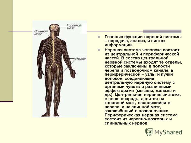 Главные функции нервной системы – передача, анализ, и синтез информации. Нервная система человека состоит из центральной и периферической частей. В состав центральной нервной системы входят те отделы, которые заключены в полости черепа и позвоночном