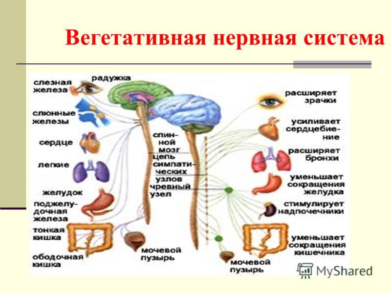 Система Нервная Вегетативная фото