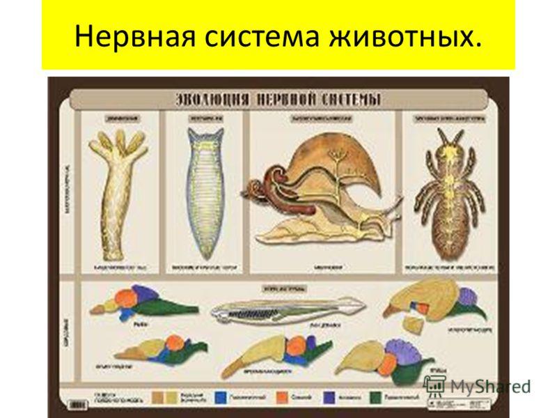 Нервная система животных.