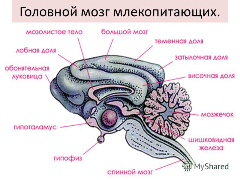 Головной мозг млекопитающих.