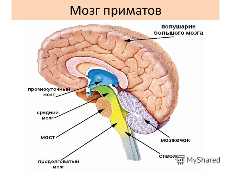 Мозг приматов