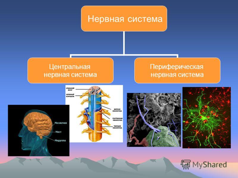 Нервная система Центральная нервная система Периферическая нервная система
