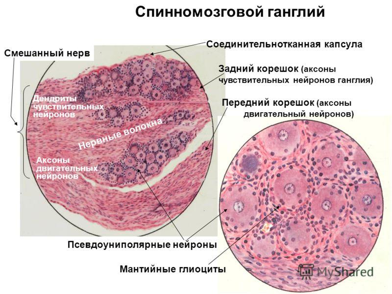Задний корешок (аксоны чувствительных нейронов ганглия) Псевдоуниполярные нейроны Нервные волокна Соединительнотканная капсула Передний корешок (аксоны двигательный нейронов) Мантийные глиоциты Спинномозговой ганглий Смешанный нерв Дендриты чувствите