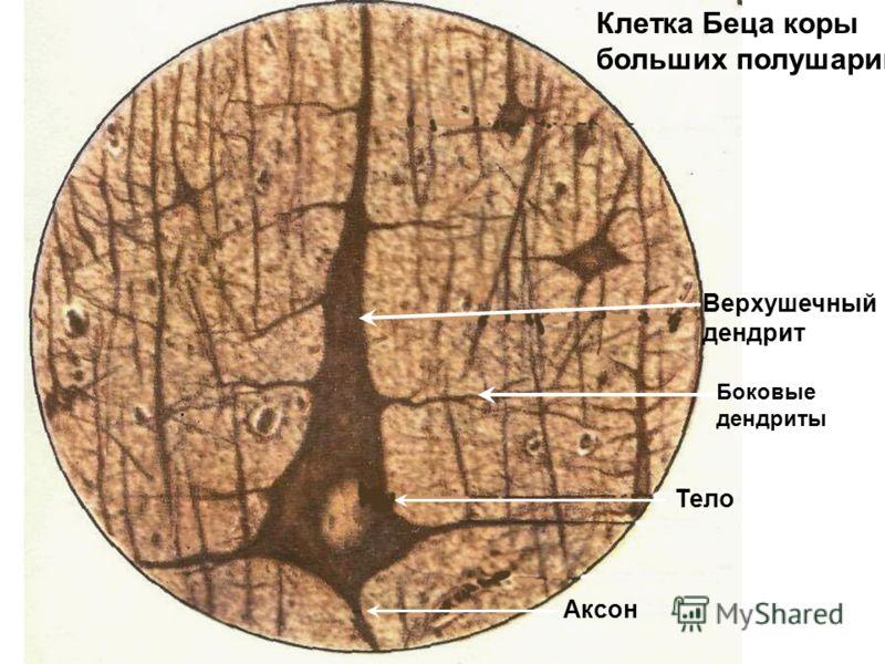 Аксон Верхушечный дендрит Тело Клетка Беца коры больших полушарий Боковые дендриты