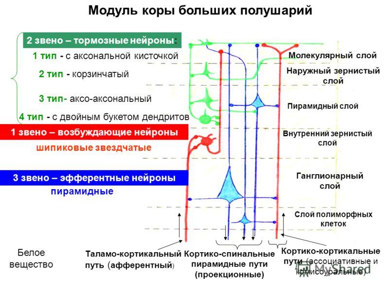Модуль коры больших полушарий