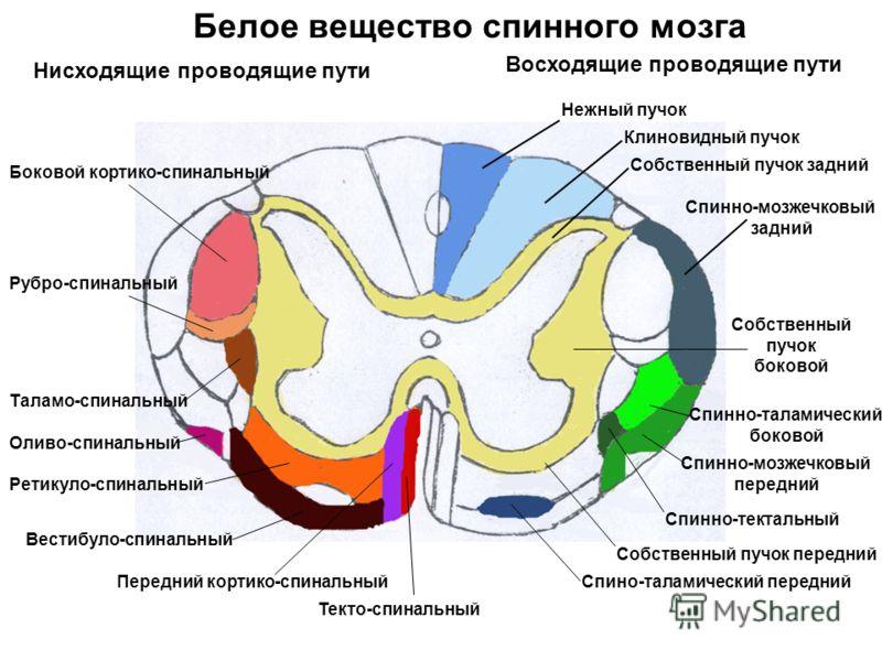 Белое вещество спинного мозга Нежный пучок Клиновидный пучок Собственный пучок задний Спинно-мозжечковый задний Собственный пучок боковой Спинно-таламический боковой Спинно-мозжечковый передний Спинно-тектальный Собственный пучок передний Спино-талам