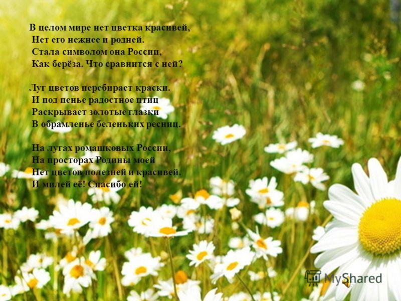 В целом мире нет цветка красивей, Нет его нежнее и родней. Стала символом она России, Как берёза. Что сравнится с ней? Луг цветов перебирает краски. И под пенье радостное птиц Раскрывает золотые глазки В обрамленье беленьких ресниц. На лугах ромашков